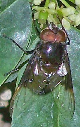 Copestylum mexicana - Copestylum mexicanum