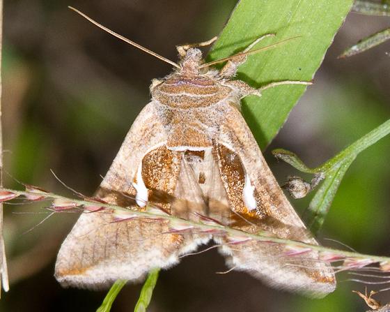 2011 Sandy Hook Bioblitz Moth #31 - Anagrapha falcifera