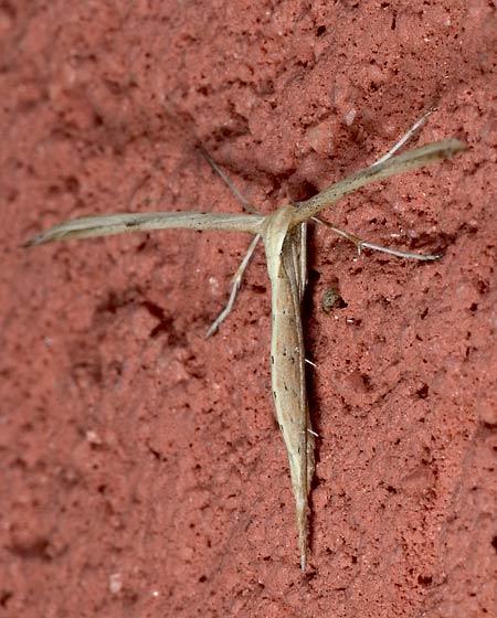 Plume moth - Stenoptilodes sp. ? - Emmelina monodactyla