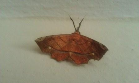 This winged moth, uses mimethism to disguise himself as a dry leaf - Syllectra erycata