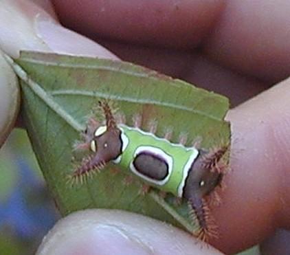 Georgia Caterpillar - Acharia stimulea