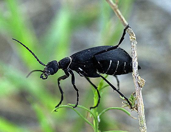 Blister Beetle - Epicauta segmenta - BugGuide Net