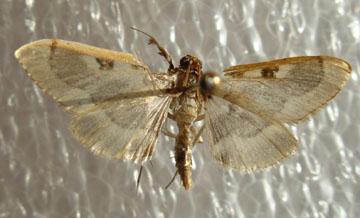 1/2 clear wings - Apilocrocis pimalis