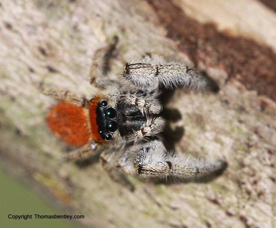 Jumping spider - Phidippus whitmani