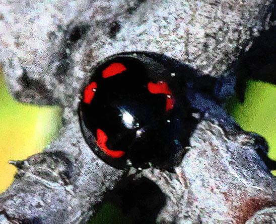 Pine Lady Beetle - Brumus quadripustulatus