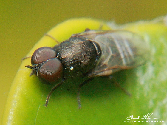 Small Fly - Scenopinus - male