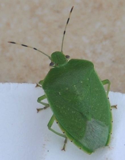 Green Stink Bug - Chinavia hilaris