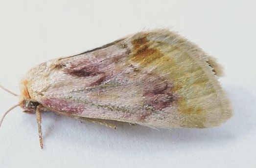 Arizona Moth - Chamaeclea pernana