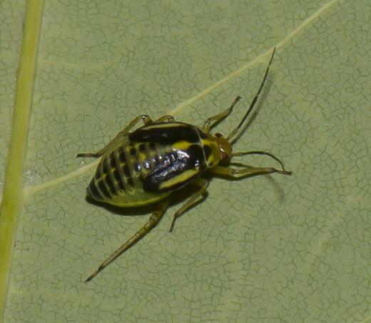 - Poecilocapsus lineatus