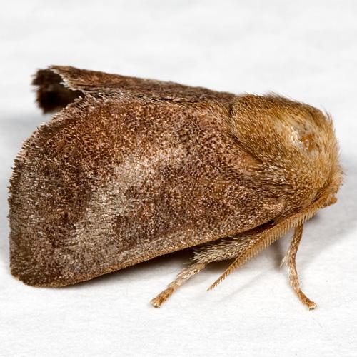 Hodges#4681 - Isa textula - male
