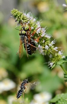 Green Eyed Wasps - Tachytes - male - female