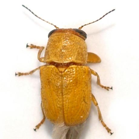 Pachybrachis - Pachybrachis mellitus