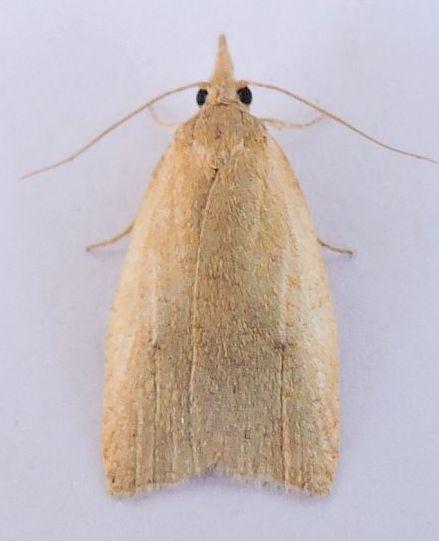Arizona Moth - Sparganothoides machimiana