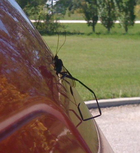 Dragonfly scorpion bug - Pelecinus polyturator - female