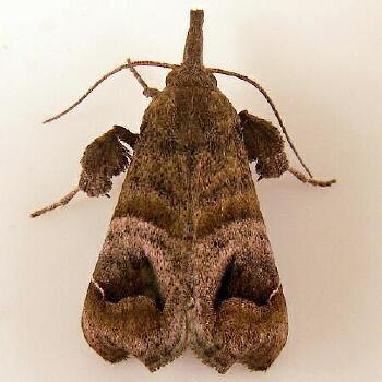 Bonchis munitalis - Hodges #5564 - Bonchis munitalis