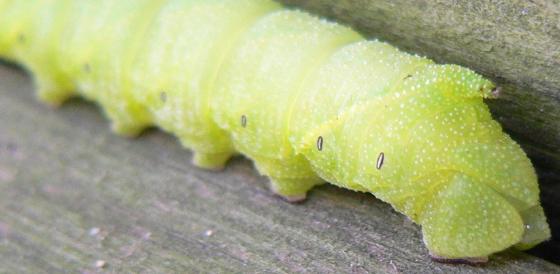 Sphinx caterpillar - Paonias excaecata