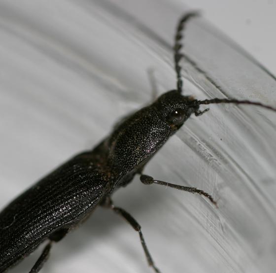 Hemicrepidius morio?