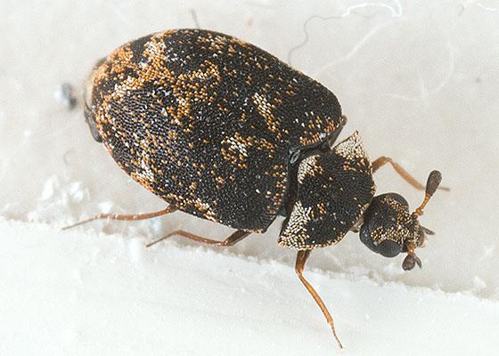 True Bug ? - Anthrenus museorum