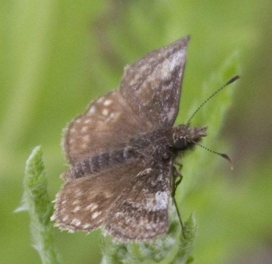Dreamy Duskywing - Erynnis icelus - male