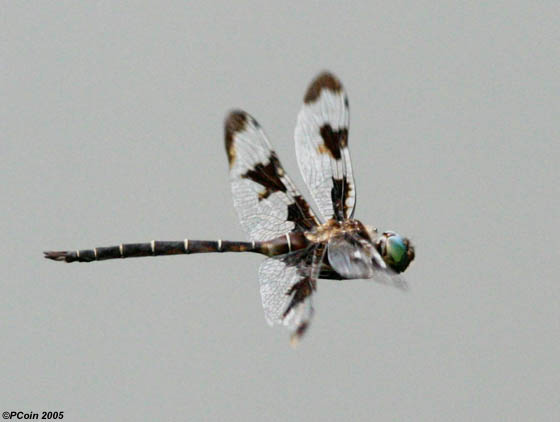 Prince Baskettail in Flight - Epitheca princeps - male