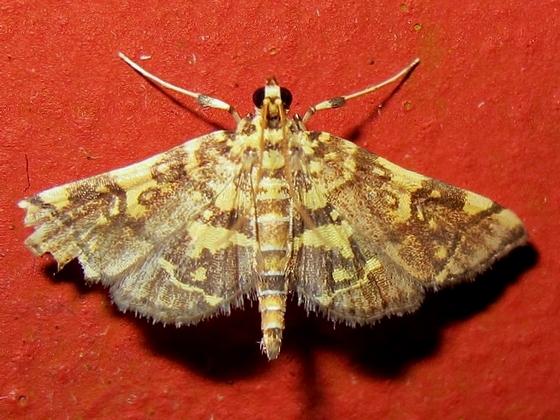 Hodges #5177  - Checkered Apogeshna   - Apogeshna stenialis
