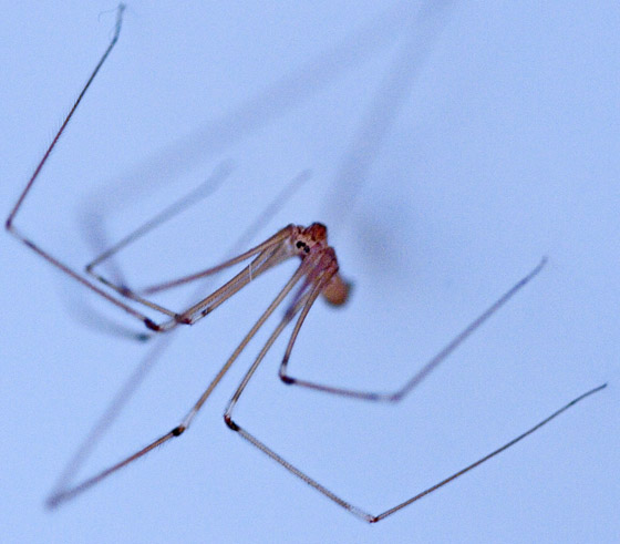 a spider in my bathtub - Pholcus phalangioides