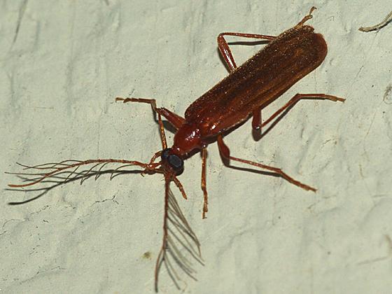 Fire-colored Beetle - Dendroides ephemeroides