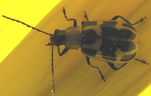 Weirdly Spotted Cucumber Beetle - Diabrotica undecimpunctata