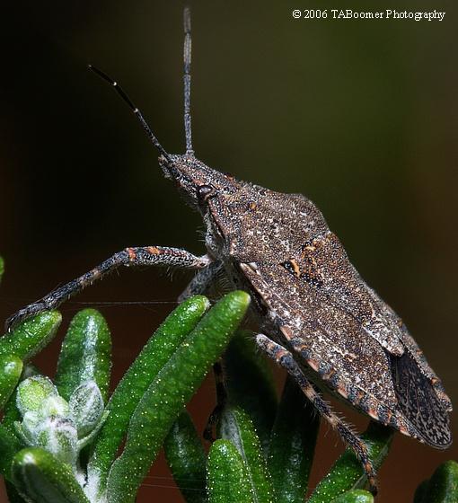 Unknown (True?) Bug - Brochymena sulcata