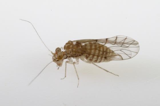 Lachesilla anna Sommerman - Lachesilla anna - female