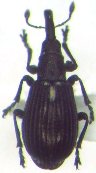 Apioninae - Perapion punctinasum