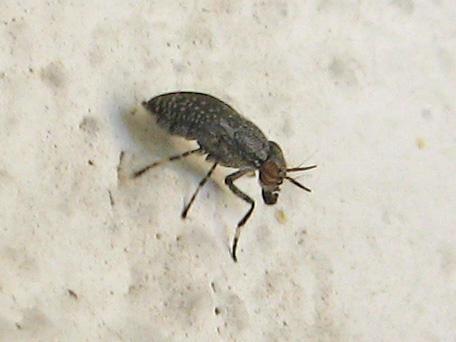 Fly ID? - Stictomyia longicornis
