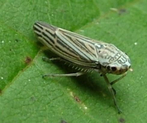 Hopper - Graphocephala gothica