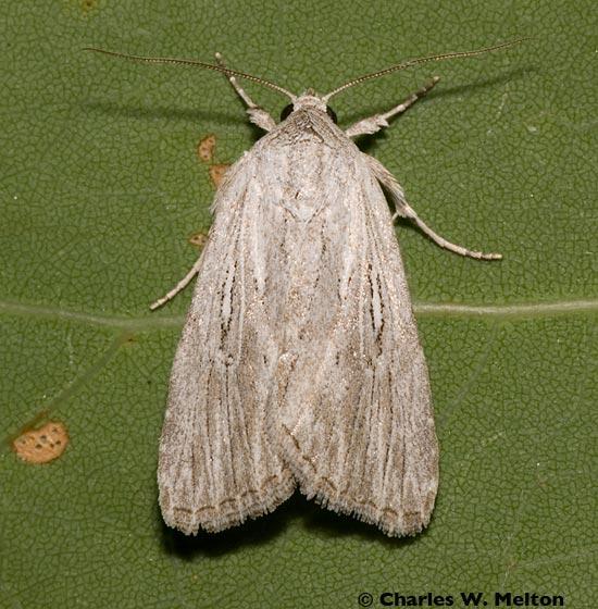 Moth - Catabena lineolata