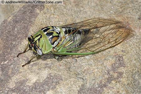 Tibicen dealbatus ? - Megatibicen dealbatus