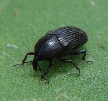 Weevil on Cocklebur - Baris