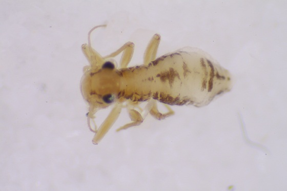 Bertkauia lepicidinaria  Chapman - Bertkauia lepicidinaria - female