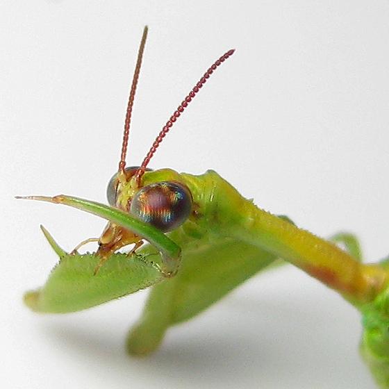 Zeugomantispa minuta - female