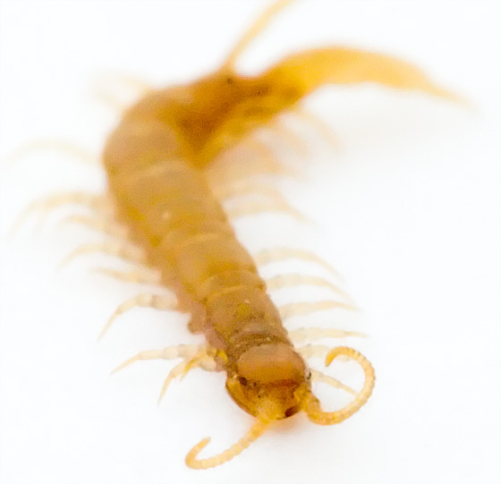Crawling Orange Bug - Lithobius microps