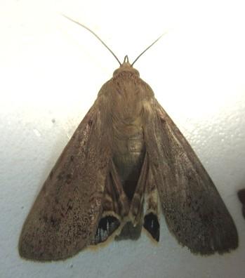 Moth with Eye Spots  - Litoprosopus futilis