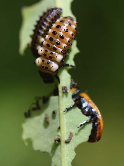 Cottonwood Leaf Beetle Larva - Chrysomela scripta