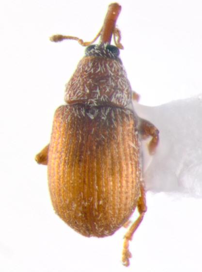Curculionidae, dorsal - Dietzianus pygmaeus
