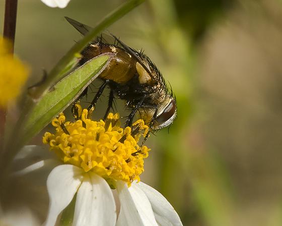 Tachinid Fly - Gonia crassicornis