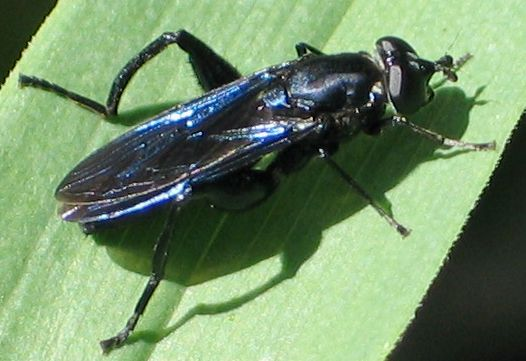 blue-winged flower fly - Chalcosyrphus chalybeus