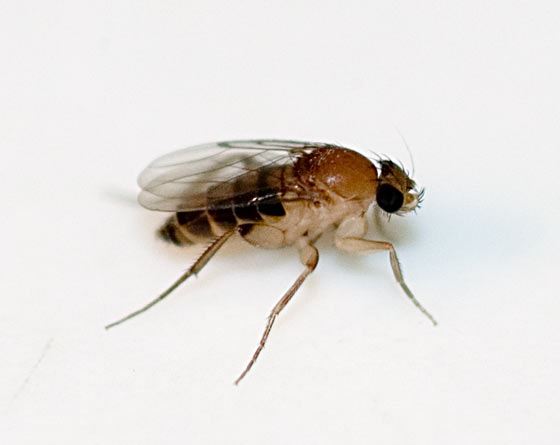 Megaselia scalaris - female