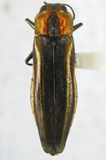 Agrilus concinnus Horn - Agrilus concinnus - female