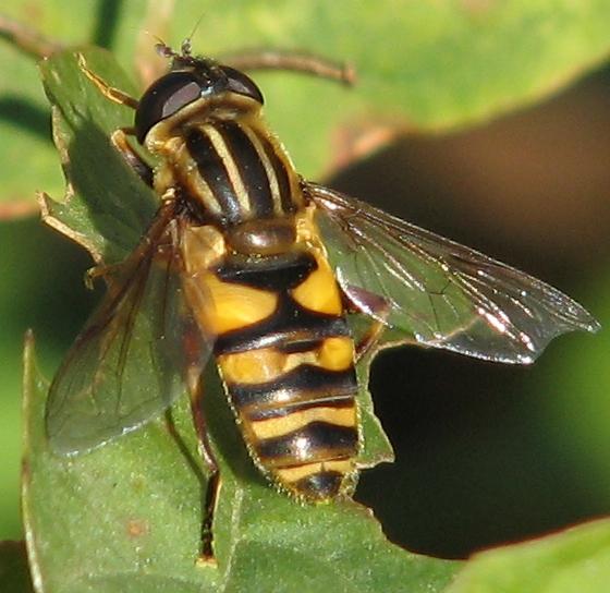 Syrphid - Helophilus fasciatus - female