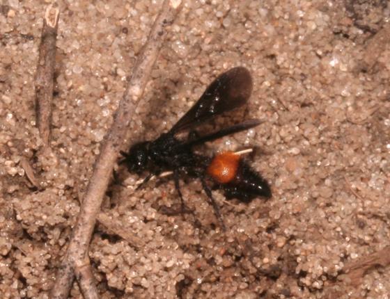 Mutillidae - Dasymutilla nigripes - male