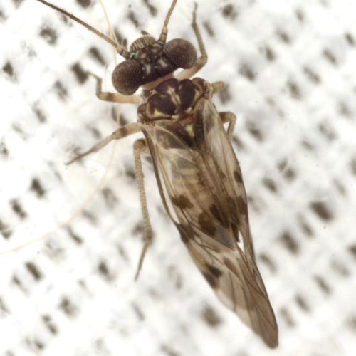 Common Barklous - Indiopsocus lanceolatus - male