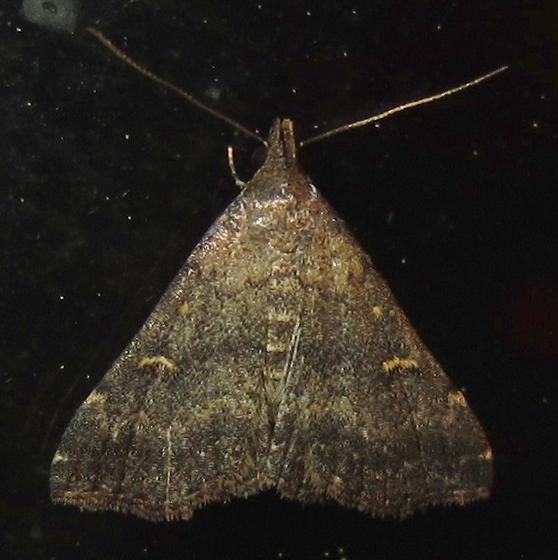 Hodges #8366 - Smoky Tetanolita - Tetanolita mynesalis